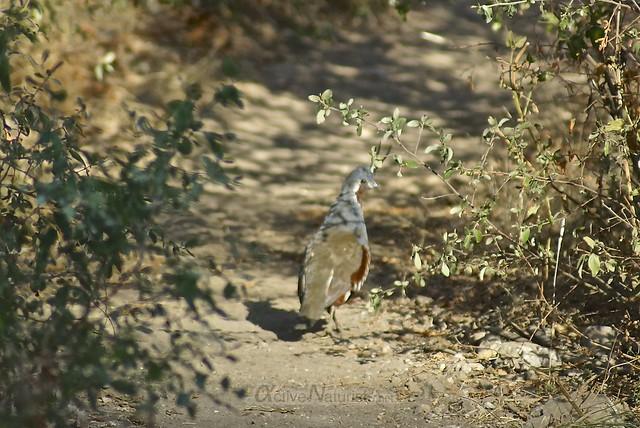mountain quail 0000 Pine Ridge Trail, Big Sur, CA, USA