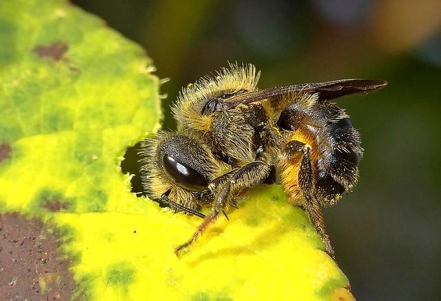 Megachile willughbiella 4
