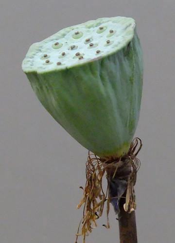 Lotus Flower Seedpod Growing in the Mekong River Delta