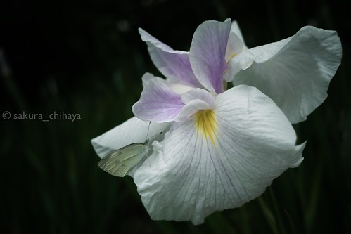 000160_Secret talk (Iris2013 #1) by sakura_chihaya+