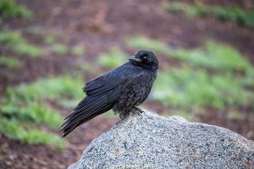 Australian Raven 2013-06-10 (IMG_6970)