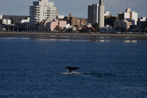 Southern Right Whale by Puerto Madryn