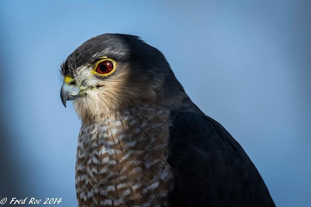 Sharp-shinned Hawk [Accipiter striatus]