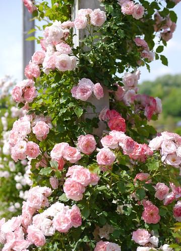 Rose, Sakura-Gasumi Climbing, バラ, 桜霞 つる,