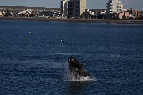 Southern Right Whale Breaching by Puerto Madryn