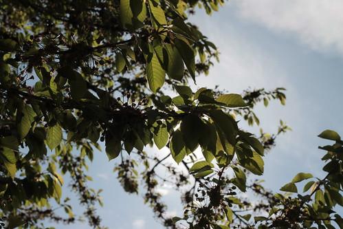 Morning sun through the cherry tree leaves.