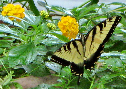 Butterfly Tiger Swallowtail by Rosa Blue