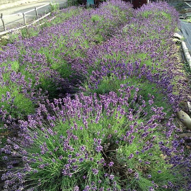 ラベンダー畑の刈り取り、残念ながら花が咲いてしまったよ〜T^T