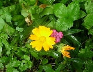 Ringelblume und Nelke