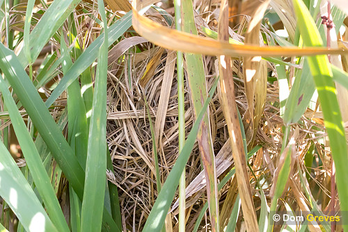Harvest mouse nest