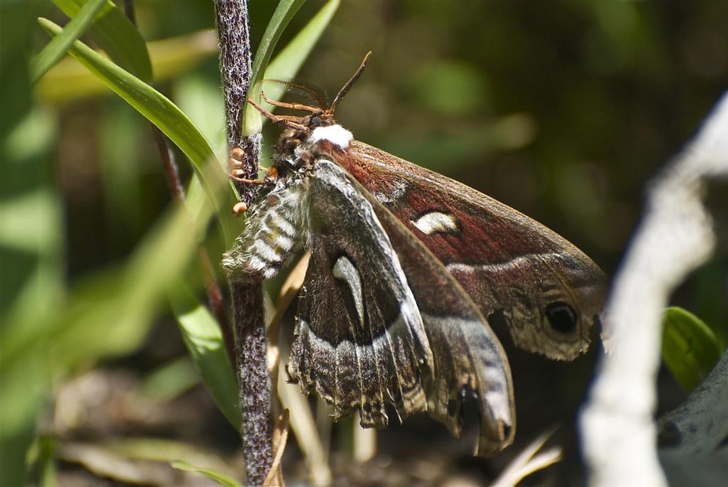 Ceanothus silkmoth