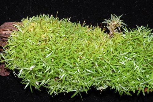 Octoblepharum albidum DSC_0179 (3)