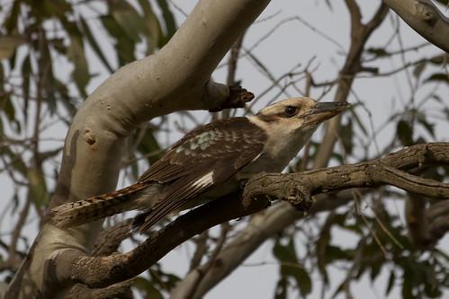 Kookaburra 2013-09-27 (_MG_2118)