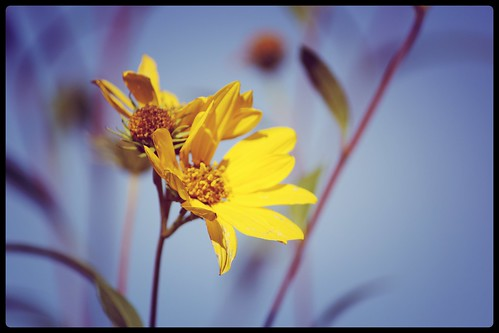 fleursjaunes02