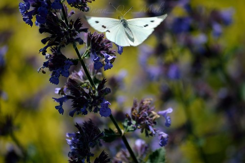 Silver Butterfly by damn_que_mala