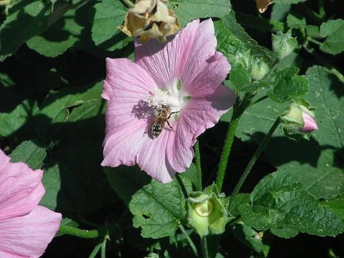 Honeybee working hollyhock with lots of pollen