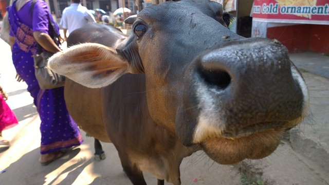 This cow tried to eat my Lumia 1020.