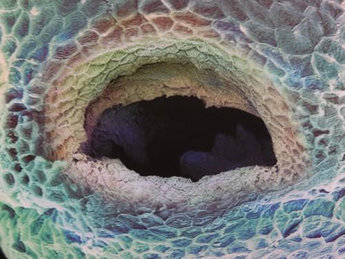 Close up of zebrafish embryo mouth