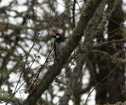 acorn woodpecker 8