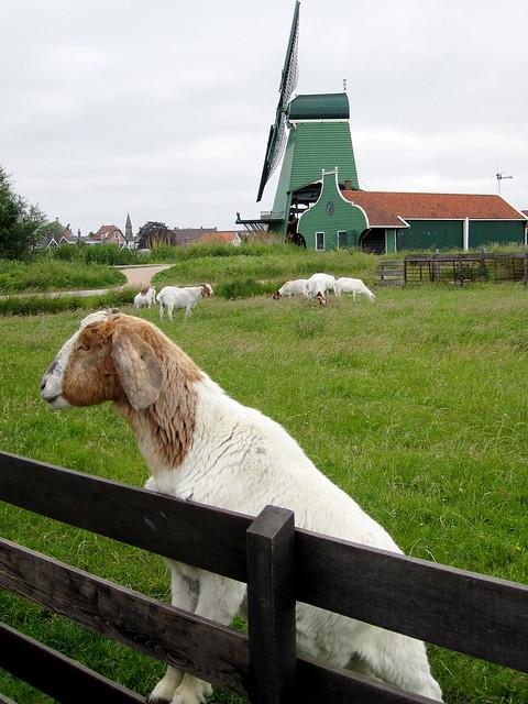 Goats, Zaandijk.