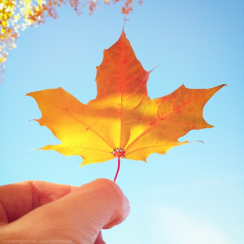 Maple leaf against the sky