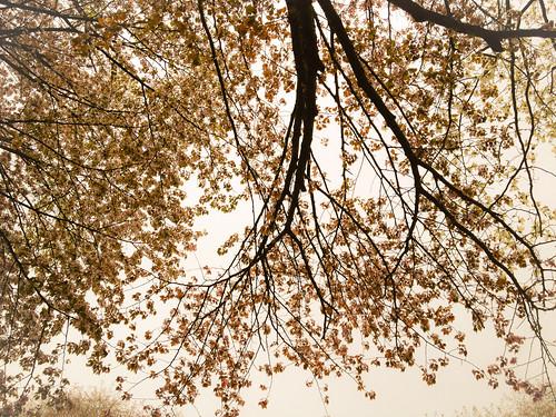 見上げれば桜 by kumakichi
