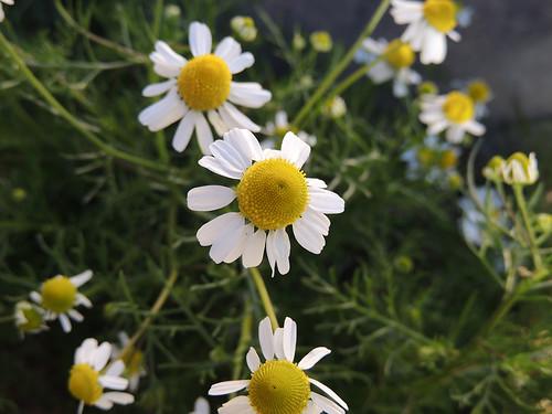 flores macro sin lente