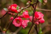 rich salmon quince flowering branches