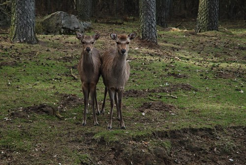 Sikahirsche im Skandinavisk Dyrepark in Kolind