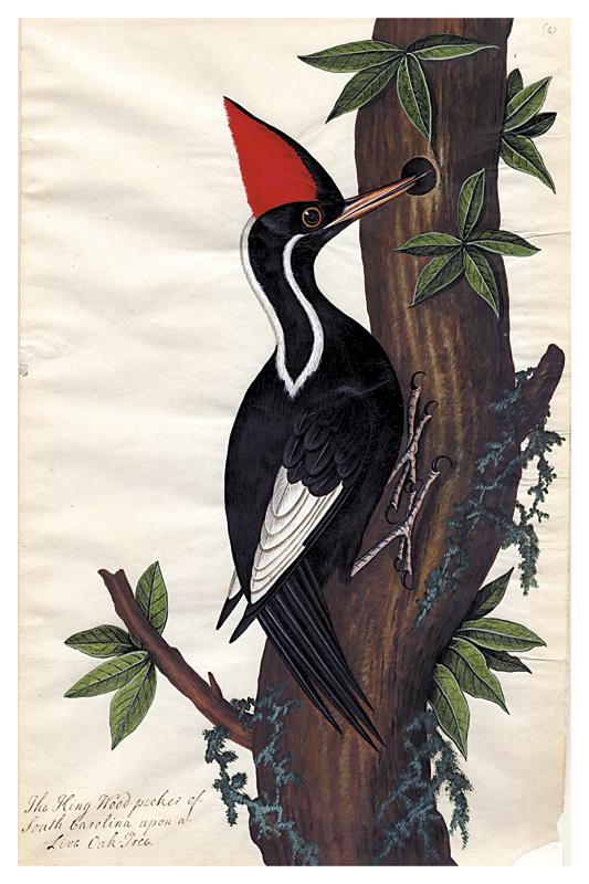welcome ivorybilled woodpecker - 688×630