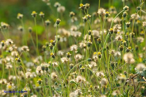 Long lanh hoa dại