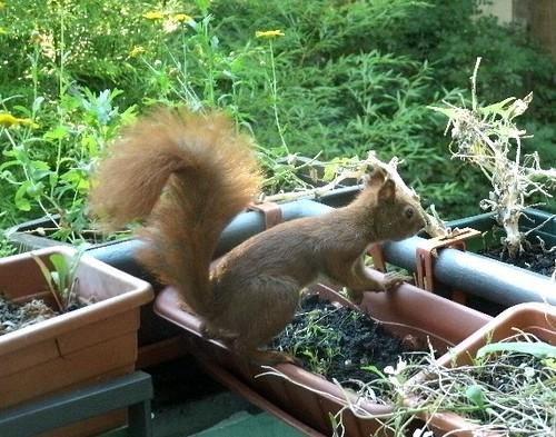Hörnchen auf dem Balkon 3