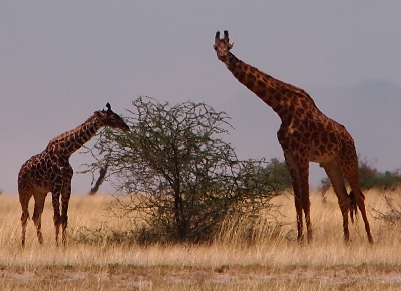 Giraffes Eating in Amboseli National Park