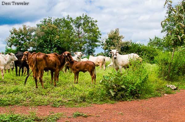 free range cattle on farm