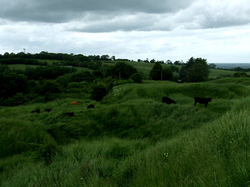 cows on the commons at Brill