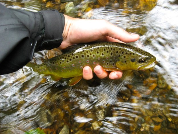 Gunpowder River Brown Trout