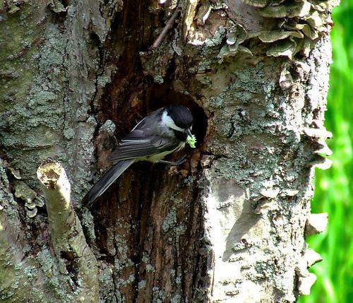 chickadee at nest hole with caterpillar