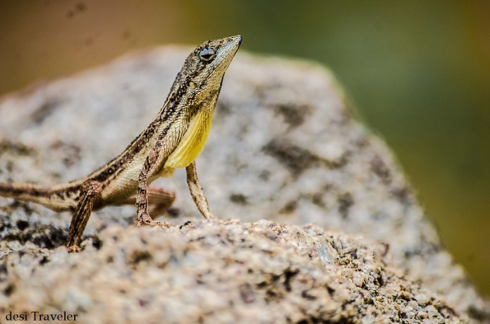 Sitana ponticeriana  Fan Throated lizard