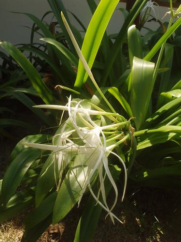 201401270069-spider-lilies