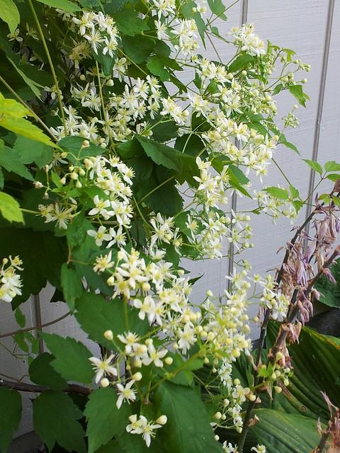 Native Clematis Virginiana
