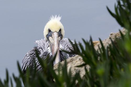 Ventura Harbor: Brown Pelican