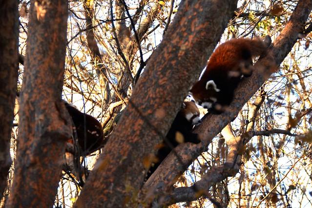 Red Panda Clan