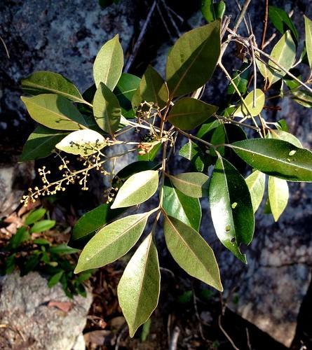 Aglaia elaeagnoidea IMG_7248