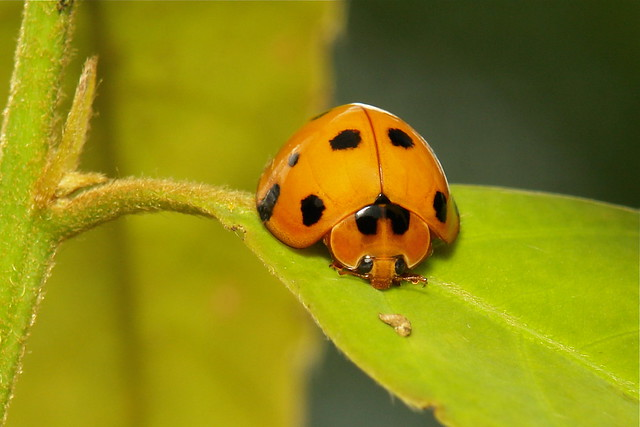 Lady Beetle (Coccinellidae)