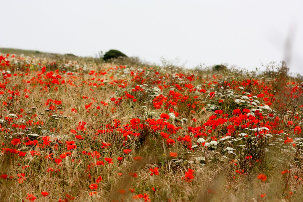 Dover Poppy Fields