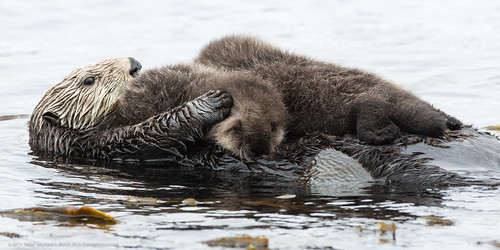 Mother sea otter with rare twin baby pups. The fuzzy pups are on her belly as she floats in the sea. The mama looks mildly harried.