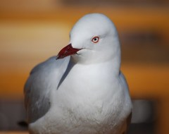 Bird - Sydney Harbour