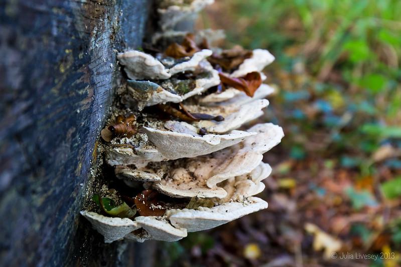 Possibly Lumpy Bracket fungi (Trametes gibbosa)