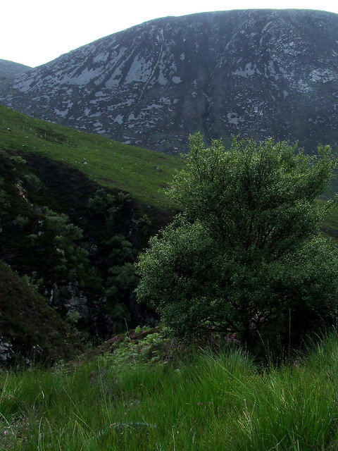 Arran whitebeam refuge