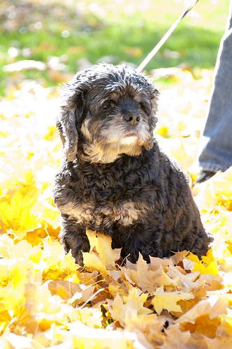 Bella in leaves 1